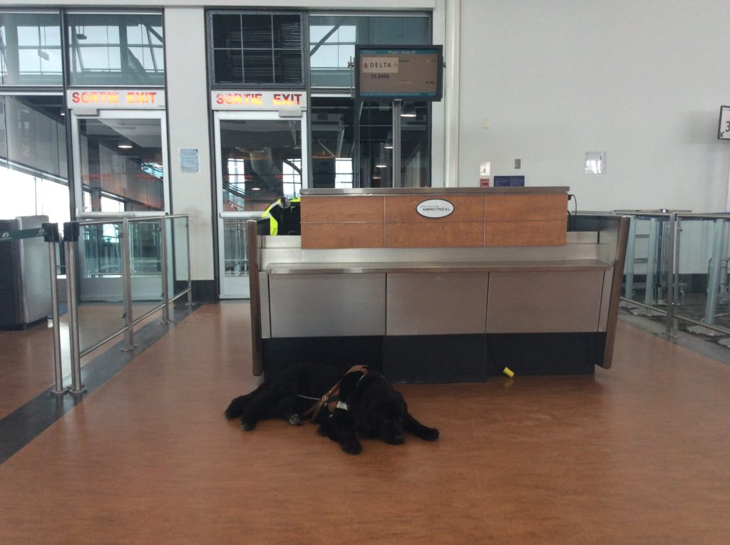 Dog laying down in front of the gate desk at the airport.