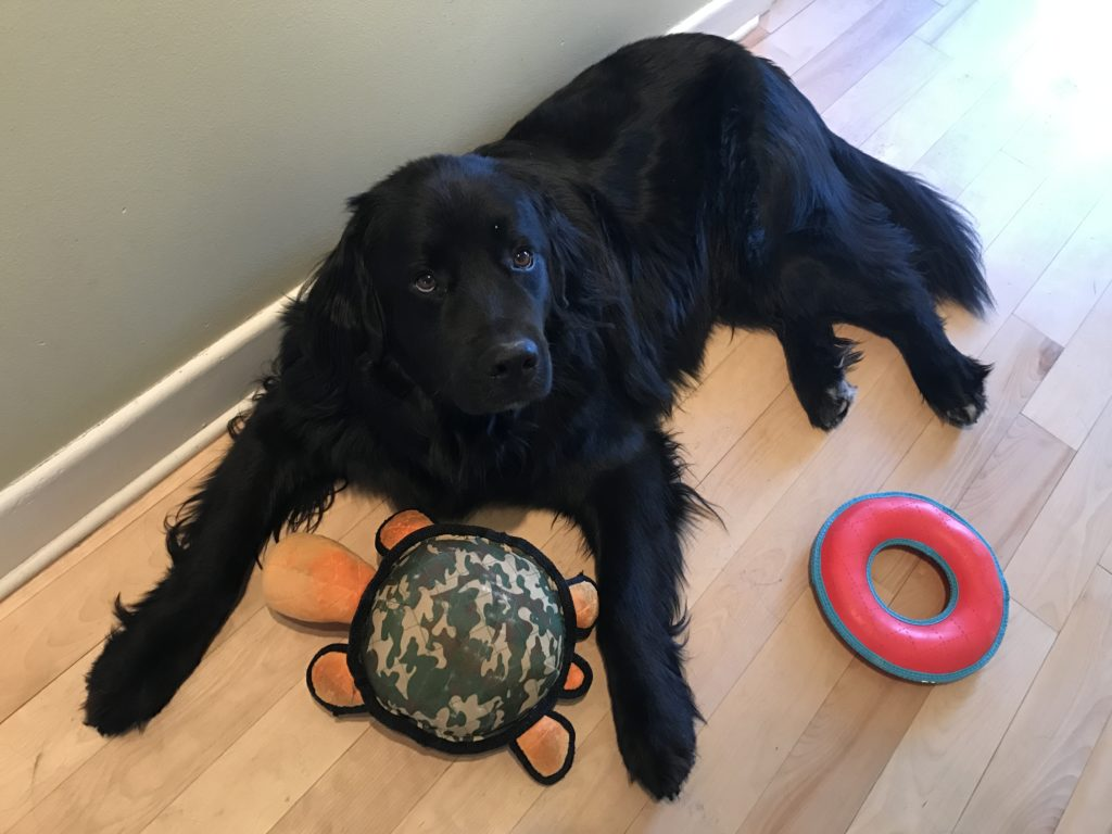 Dog with a plush turtle toy and a rubber ring toy