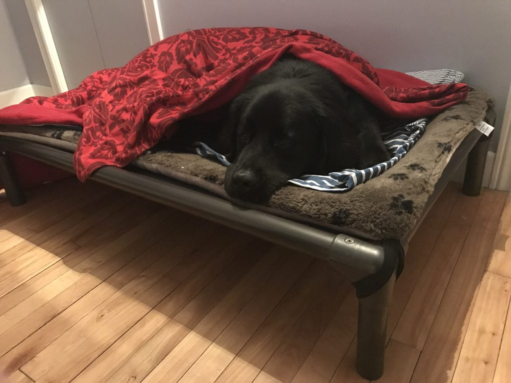 Dog in a bed, off the floor, with a soft mattress under him and a blanket over him.
