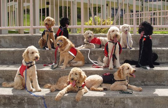 10 service dogs sitting or laying down